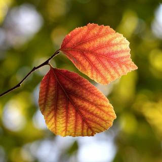 Autumn Macro Leaves - Obrázkek zdarma pro iPad