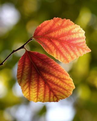 Autumn Macro Leaves - Obrázkek zdarma pro Nokia Asha 300