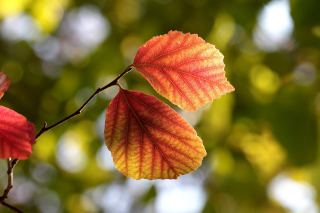 Free Autumn Macro Leaves Picture for Android, iPhone and iPad