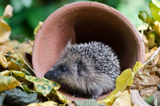 Cute Hedgehog Wallpaper for Android, iPhone and iPad