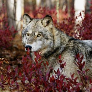 Gray Wolf In USA Forest - Obrázkek zdarma pro 208x208