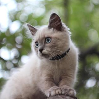 Cute Siamese - Obrázkek zdarma pro 208x208