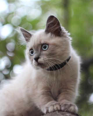 Cute Siamese - Obrázkek zdarma pro Nokia C6