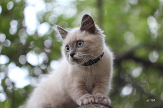 Free Cute Siamese Picture for Android, iPhone and iPad