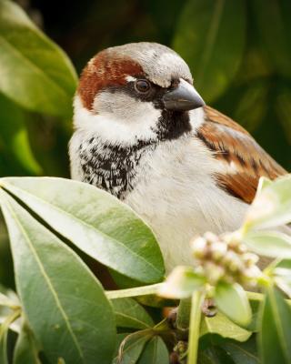 Sparrow - Obrázkek zdarma pro Nokia C2-05