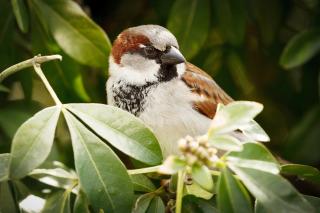 Sparrow - Obrázkek zdarma pro 1280x720