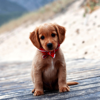 Beagle Puppy - Obrázkek zdarma pro iPad mini 2