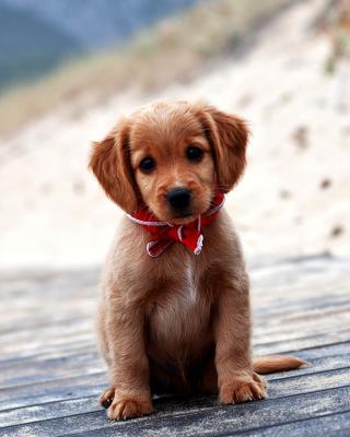 Beagle Puppy - Obrázkek zdarma pro Nokia C1-01