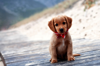 Beagle Puppy - Obrázkek zdarma pro 1366x768
