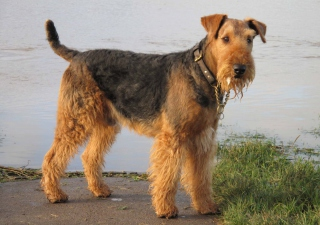 Airedale Terrier - Obrázkek zdarma pro Android 640x480