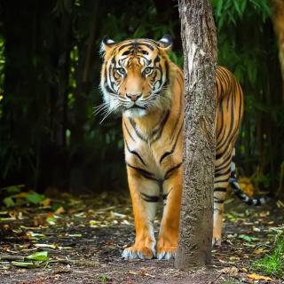 Bengal Tiger - Obrázkek zdarma pro 208x208