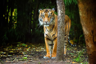 Bengal Tiger - Obrázkek zdarma pro Widescreen Desktop PC 1440x900