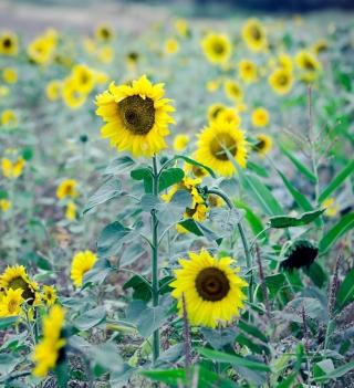 Sunflowers In Field - Obrázkek zdarma pro 320x320