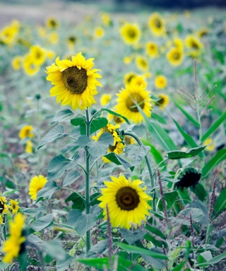 Sunflowers In Field - Obrázkek zdarma pro Nokia X2-02
