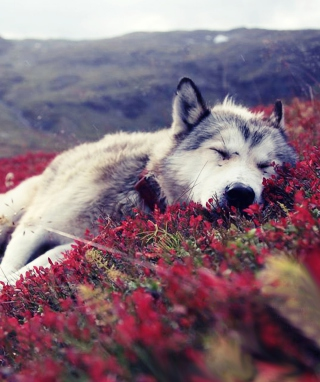 Wolf And Flowers - Obrázkek zdarma pro iPhone 6