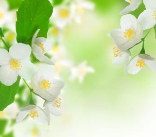 Jasmine Blossom - Obrázkek zdarma pro 1024x1024