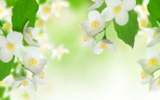 Jasmine Blossom - Obrázkek zdarma pro Fullscreen 1152x864