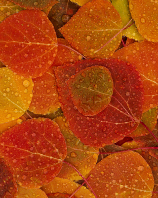 Autumn leaves with rain drops - Obrázkek zdarma pro Nokia Asha 310