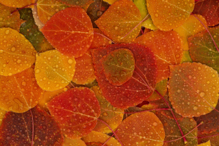 Autumn leaves with rain drops - Obrázkek zdarma pro Widescreen Desktop PC 1600x900