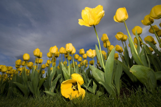 Free Field Of Yellow Fowers Picture for Android, iPhone and iPad