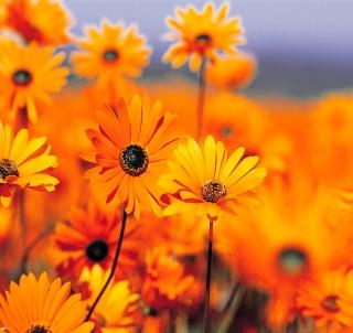 Orange Flowers - Obrázkek zdarma pro 1024x1024