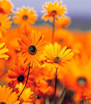 Orange Flowers - Obrázkek zdarma pro 176x220