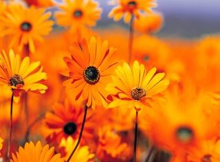 Orange Flowers - Obrázkek zdarma pro Android 320x480