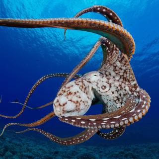 Octopus in the Atlantic Ocean - Obrázkek zdarma pro iPad