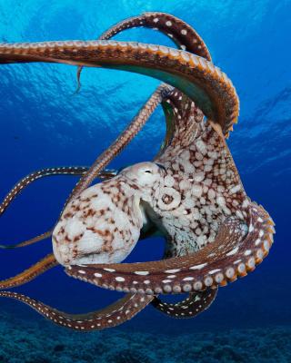 Octopus in the Atlantic Ocean - Obrázkek zdarma pro Nokia C2-06