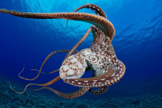 Octopus in the Atlantic Ocean - Obrázkek zdarma pro Widescreen Desktop PC 1440x900