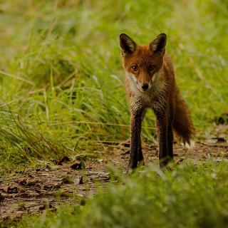 Red Fox - Obrázkek zdarma pro iPad