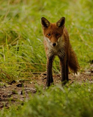 Red Fox - Obrázkek zdarma pro 640x960