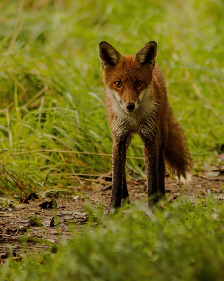 Red Fox - Obrázkek zdarma pro Nokia Asha 503