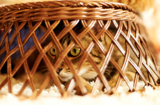 Cat Hiding Under Basket Picture for Android, iPhone and iPad