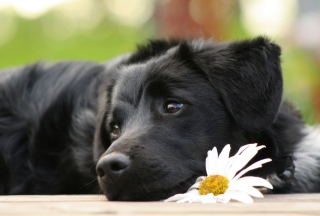 Black Dog With White Daisy - Fondos de pantalla gratis para Sony Ericsson XPERIA PLAY