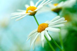 Macro Daisies - Obrázkek zdarma pro Samsung Galaxy Tab 3 10.1