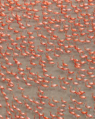 Pink Flamingos - Obrázkek zdarma pro Nokia C2-05