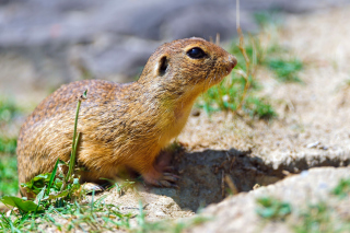 Gopher Picture for Android, iPhone and iPad