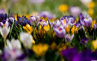 Crocus Field Wallpaper for Android, iPhone and iPad