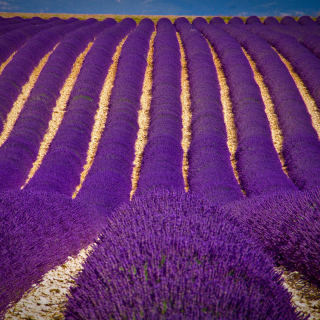 Lavender garden in India - Obrázkek zdarma pro iPad 3