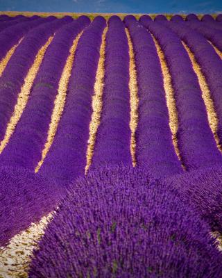 Lavender garden in India - Obrázkek zdarma pro Nokia C6-01