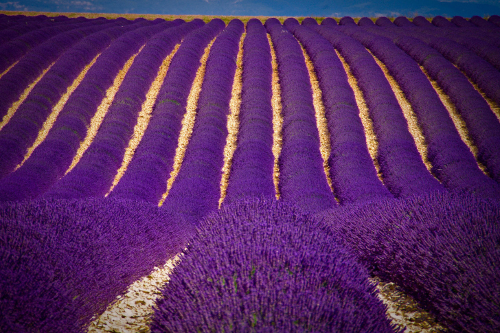 Lavender garden in India wallpaper