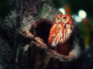 Red Owl Picture for Android, iPhone and iPad