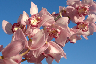 Pink Orchids Background for Android, iPhone and iPad