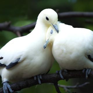 Pigeon Couple - Obrázkek zdarma pro iPad mini 2