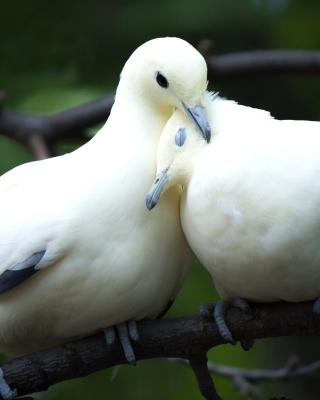 Pigeon Couple - Obrázkek zdarma pro Nokia Asha 309