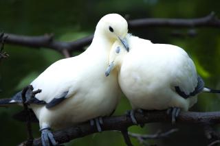 Pigeon Couple - Obrázkek zdarma pro Nokia Asha 210