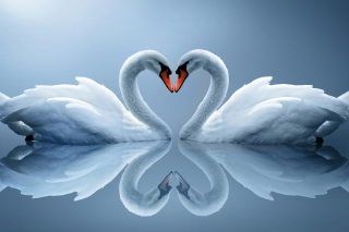 Swans Couple - Obrázkek zdarma pro Samsung Galaxy S3