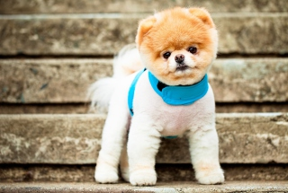 Free Boo The Cutest Dog Picture for Android, iPhone and iPad