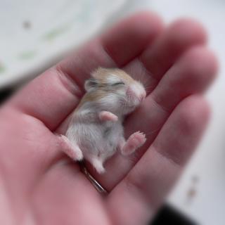 Baby Hamster - Obrázkek zdarma pro iPad